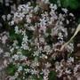 Frothy Flowers.... (Saxifraga x urbium)