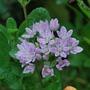 Allium.......