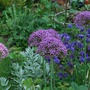 Allium with Artemisia Valerie Finnis.. (Artemisia ludoviciana Valerie Finnis.)