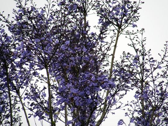 Jacaranda bloom early. (Jacaranda mimosifolia (Brazil Rosewood))