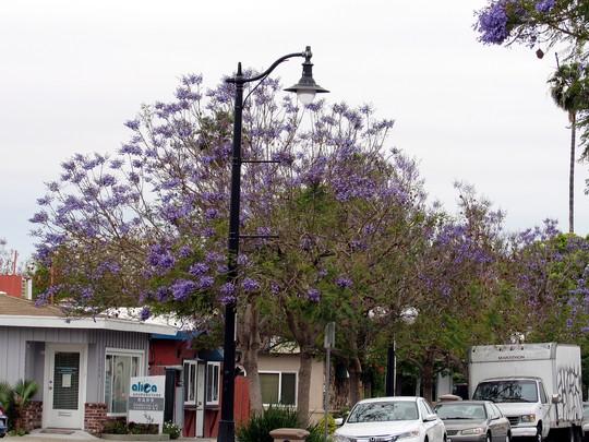 Gray and blue day. (Jacaranda mimosifolia (Brazil Rosewood))