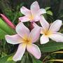 Pink Plumeria  (Plumeria 'Honey Rose')