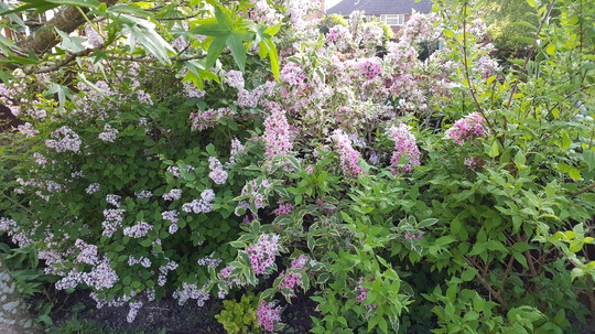 Dwarf lilac and weigela variagated