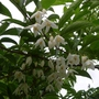 Styrax wuyuanensis - 2018 (close-up) (Styrax wuyuanensis)