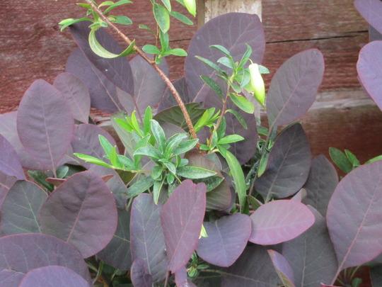 Billardiera longiflora flowers (For my File) (Billardiera longiflora (Appleberry))