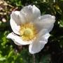 Anemone sylvestris (Anemone sylvestris (Snowdrop Windflower))