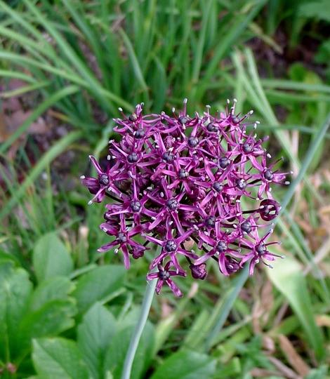 Allium atropurpureum - 2018 (Allium atropurpureum)