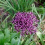Allium_atropurpureum_2018