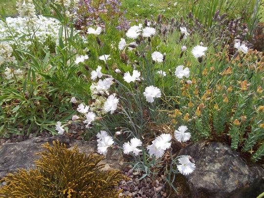 Dianthus sp. (Dianthus)