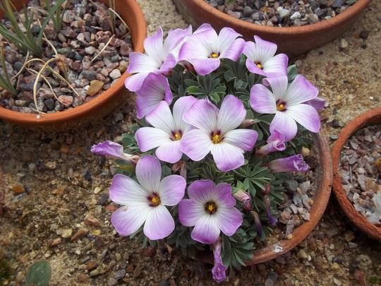 Oxalis adenophylla (Oxalis adenophylla)