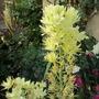 White Camassia (Camassia leichtlinii semiplena)