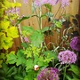 Thalictrum Black Stockings and Allium.. (Thalictrum  (Meadow rue) Black Stockings.)