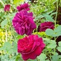 Darcey Bussell... (Rosa Darcey Russell..)
