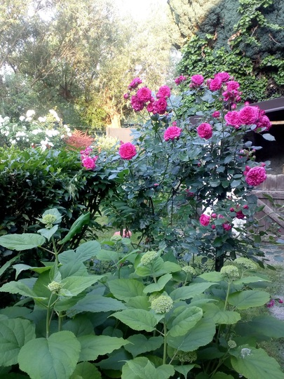 Iceberg and Laguna climbing roses in the garden.