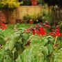 Salvia gesneriiflora 'Mountain Form' (Salvia gesneriiflora)