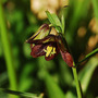 Fritillaria camschatcensis (Fritillaria camschatcensis (Kamchatka Fritillary))