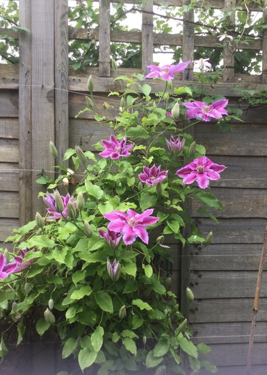 Clematis. Dr. Ruppel