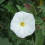 Convulvulus cneorum