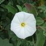 Convulvulus cneorum flower (Convulvulus cneorum)