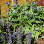 Ajuga repens and Centaurea montana