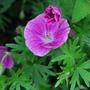 HG Elke..... (Geranium dissectum (Cut-leaved Cranesbill) Elke.)