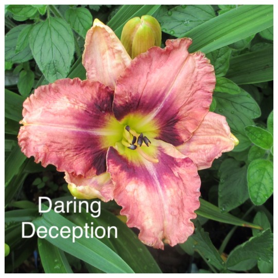 Hemerocallis 'Daring Deception' (Hemerocallis)