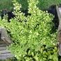 Weigela maximowiczi (Weigela maximowiczii)