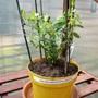 """Salvia greggii """"Nachtvlinder"""""""