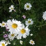 Bee friendly Leucanthemum