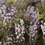 Wisteria for Balcony (Wisteria)