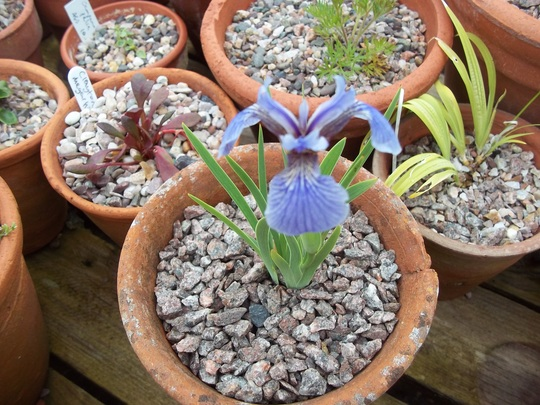 Iris gracilipes (Iris gracilipes)