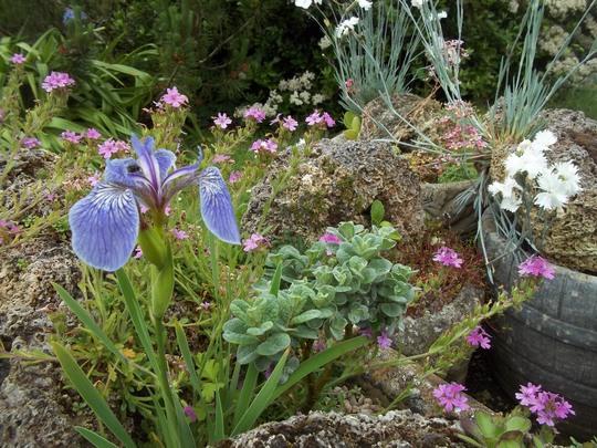 Iris lacustris (Iris lacustris (Dwarf Lake Iris))