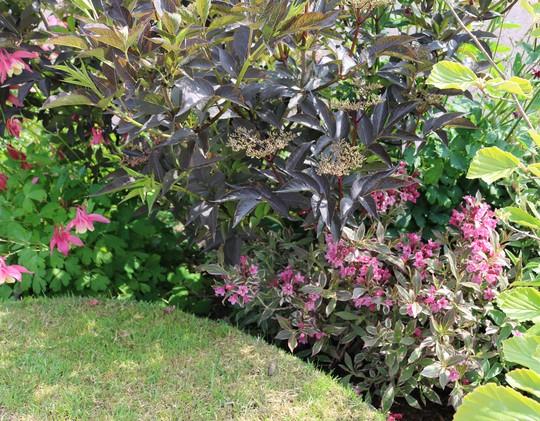 Sambucus 'Black Beauty' and Weigela florida 'Monet'