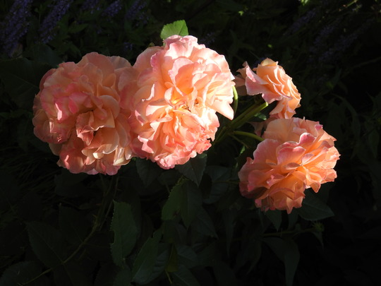 Maria Louisa rose.
