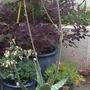 Alloa Vera flowers.  (Aloe vera (Aloe))
