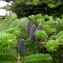 Abies Koreana blue cones (Abies koreana (Korean fir))