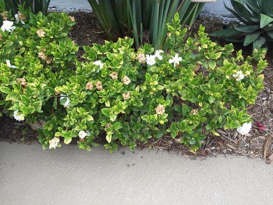 Gardenia jasminoides - Gardenia  (Gardenia jasminoides - Gardenia)