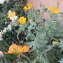Glaucium flavum (Glaucium flavum (Yellow horned poppy))