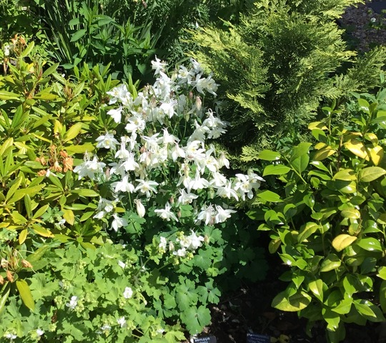 White Aquilegias were very popular at the open day yesterday...