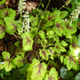 Heucherella 'Stop light' (Heucherella 'Stop light')