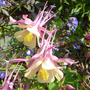 Aquilegia 'Mrs Scott Ellis' pink form (Aquilegia 'Mrs Scott Ellis')