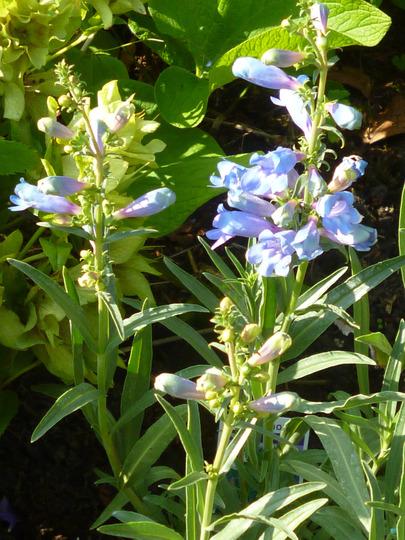 Penstemon heterophyllus 'Electric Blue' (Penstemon heterophyllus 'Electric Blue')
