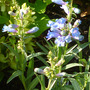 Penstemon heterophyllus 'Electric Blue' (Penstemon heterophyllus 'Electric Blue')