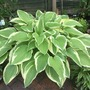Another Hosta, no name.