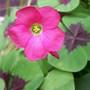 Lucky Clover 'Iron Cross' (Oxalis tetraphylla)