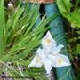 Iris gracilipes alba