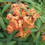Euphorbia Fire Cracker