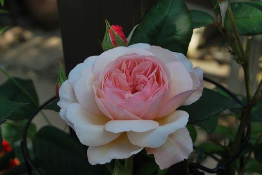 A Shropshire Lad.... (Rose climbing A Shropshire Lad...)