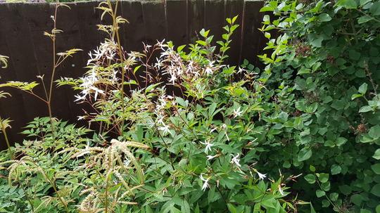 Gilenia trifoliata closer