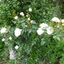 For Jenlewis. Rosa 'Champagne Moment' (Rosa  'Champagne Moment')